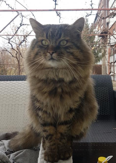 Križanka - Norveška šumska mačka