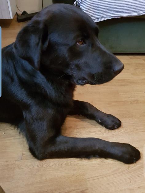 Križanac - Labrador