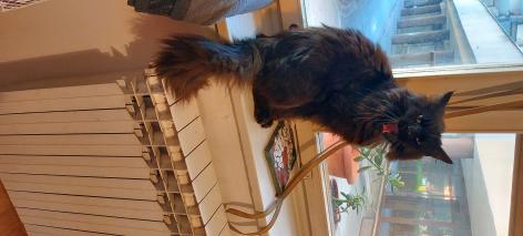 Križanka - Europska mačka